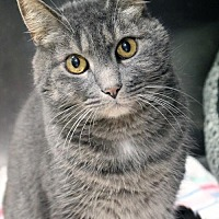 Domestic Shorthair Cat for adoption in Paris, Maine - Sabrina