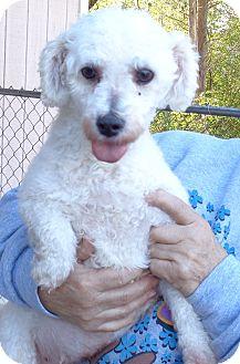 Bichon Frise Dog for adoption in Crump, Tennessee - Jarnia