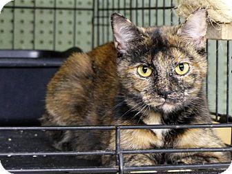 Domestic Shorthair Cat for adoption in Marlinton, West Virginia - Terri--RESCUED!