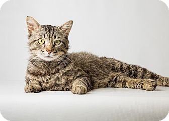 Maine Coon Cat for adoption in Hendersonville, North Carolina - Pacino