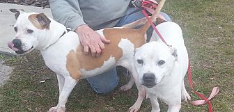 American Staffordshire Terrier Dog for adoption in Morriston, Florida - Spud