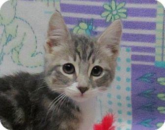 Domestic Shorthair Kitten for adoption in Lloydminster, Alberta - Mr.Smee