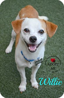Chihuahua/Terrier (Unknown Type, Small) Mix Dog for adoption in Youngwood, Pennsylvania - Willie