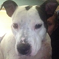 Adopt A Pet :: NIKO - Morris, IL