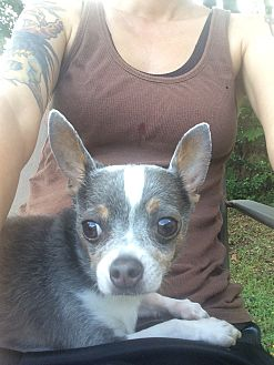 Chihuahua Mix Dog for adoption in Oviedo, Florida - Pepper