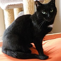 Domestic Shorthair Cat for adoption in Anacortes, Washington - Jem