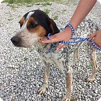 Blue Heeler/Beagle Mix Dog for adoption in Albany, New York - Maddie