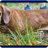 Adopt A Pet :: Hope - Green Cove Springs, FL