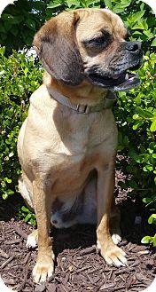 Pug/Beagle Mix Dog for adoption in Bridgeton, Missouri - Murphy-ADOPTION PENDING