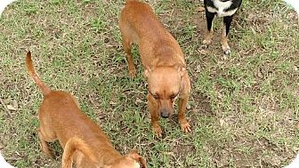 Chihuahua Mix Dog for adoption in Fort Worth, Texas - Eric