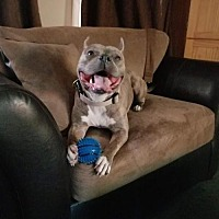 American Pit Bull Terrier Mix Dog for adoption in Princeton, Minnesota - Lilo