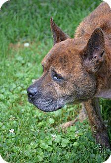Shar Pei/Chow Chow Mix Dog for adoption in Waynesville, North Carolina - Chauncy