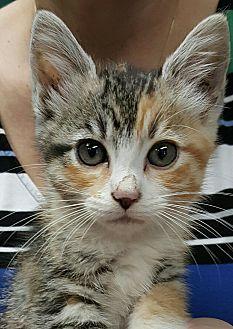 Calico Kitten for adoption in Gainesville, Georgia - Petal
