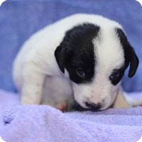 Adopt A Pet :: Tulip Pup Tallie - Chantilly, VA