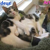 Domestic Shorthair/Domestic Shorthair Mix Cat for adoption in Menomonie, Wisconsin - Artemis
