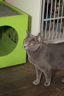 Domestic Mediumhair Cat for adoption in Los Angeles, California - Shoelace