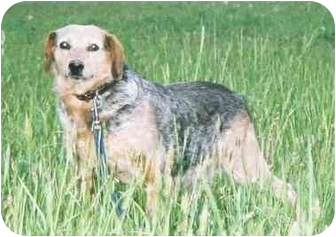 Australian Cattle Dog Mix Dog for adoption in Stuarts Draft, Virginia - Shiloh