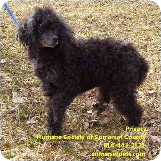 Toy Poodle Dog for adoption in Somerset, Pennsylvania - Privacy