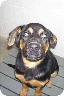 Rottweiler Mix Puppy for adoption in Osceola, Arkansas - Ruby