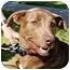 Photo 1 - Labrador Retriever/Shepherd (Unknown Type) Mix Dog for adoption in Berkeley, California - Hero