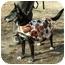 Photo 2 - Labrador Retriever/German Shepherd Dog Mix Dog for adoption in Milton, Massachusetts - Nikki