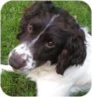 English Springer Spaniel Dog for adoption in Minneapolis, Minnesota - George (MN)