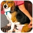 Photo 2 - Beagle Dog for adoption in Valley Village, California - Barney