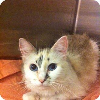 Balinese Cat for adoption in Pittstown, New Jersey - Rasta