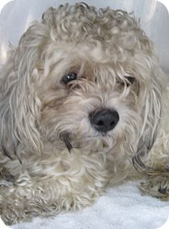 Bichon Frise/Poodle (Miniature) Mix Dog for adoption in Bloomfield, Connecticut - Lo Mein