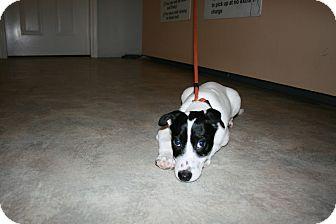 Terrier (Unknown Type, Small) Mix Puppy for adoption in San Antonio, Texas - Zorro