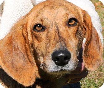 Labrador Retriever/Plott Hound Mix Dog for adoption in Wakefield, Rhode Island - LORETTA(PERFECT FAMILY PUP!!!