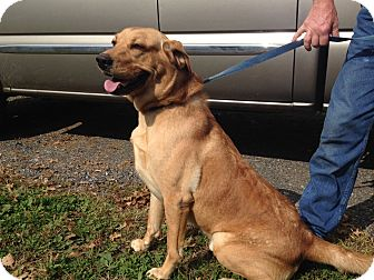 Labrador Retriever Mix Dog for adoption in Broadway, New Jersey - Donnie