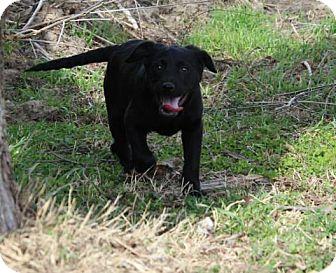 Labrador Retriever Mix Puppy for adoption in East Hartford, Connecticut - Carol-pending adoption