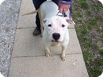 Boxer Mix Dog for adoption in Paris, Illinois - sarah