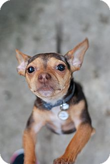 Chihuahua Mix Dog for adoption in Baton Rouge, Louisiana - Mighty Mouse
