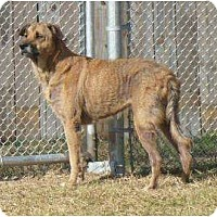 German Shepherd Dog/Labrador Retriever Mix Dog for adoption in Graceville, Florida - Hera I