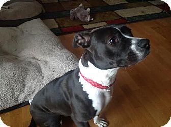Staffordshire Bull Terrier Mix Dog for adoption in China, Michigan - Jada
