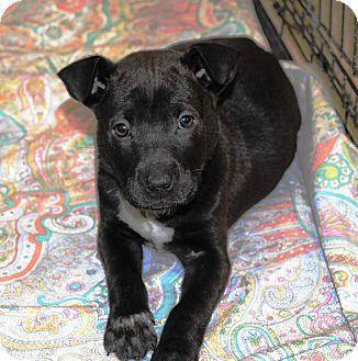Labrador Retriever/Shar Pei Mix Puppy for adoption in Shelter Island, New York - Daphne
