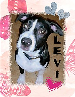 Cattle Dog/Labrador Retriever Mix Puppy for adoption in Higley, Arizona - LEVI