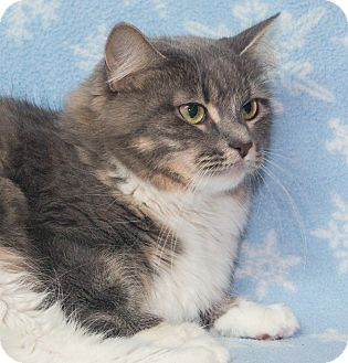 Domestic Longhair Cat for adoption in Elmwood Park, New Jersey - Luna