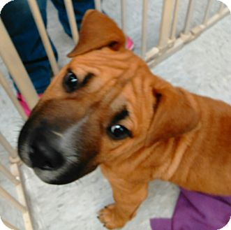 Shar Pei/Boxer Mix Puppy for adoption in Harrisburg, North Carolina - Cam