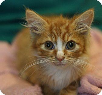 Domestic Longhair Kitten for adoption in Canoga Park, California - Cheetos-Adpt Pend