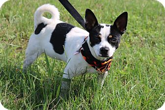 Rat Terrier Mix Dog for adoption in Pluckemin, New Jersey - Rex