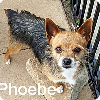 Yorkie, Yorkshire Terrier Mix Dog for adoption in McDonough, Georgia - Phoebe