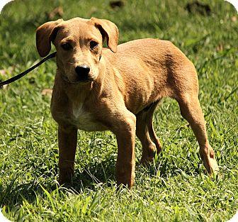 Golden Retriever/Labrador Retriever Mix Puppy for adoption in Plainfield, Connecticut - Colby