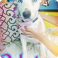 Adopt A Pet :: Dakota - Odessa, TX