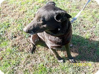 Shepherd (Unknown Type)/Labrador Retriever Mix Dog for adoption in McArthur, Ohio - SHEP - URGENT URGENT