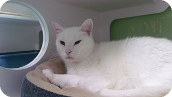 Domestic Mediumhair Cat for adoption in Muskegon, Michigan - Ford