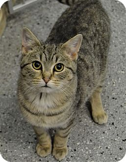Domestic Shorthair Cat for adoption in Michigan City, Indiana - Pete