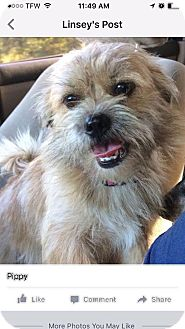 Shih Tzu/Yorkie, Yorkshire Terrier Mix Dog for adoption in East Hartford, Connecticut - Pippi in Ct